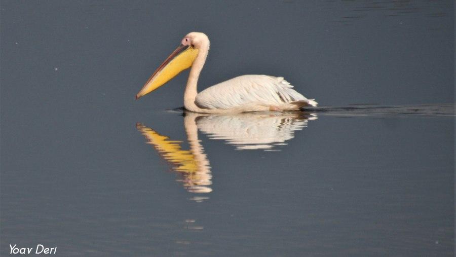 Pelican, Agmon Hula