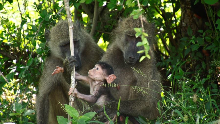 Chacma Baboons care for the baby