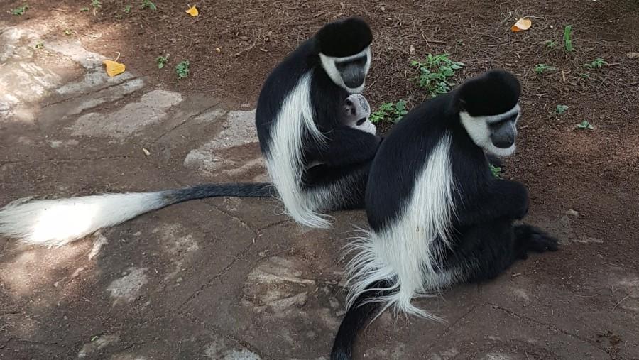 Colobus or Black and White Monkeys at Awassa, South of Addis Ababa