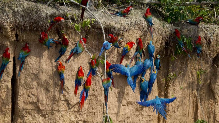 Macaws Claylick or collpa