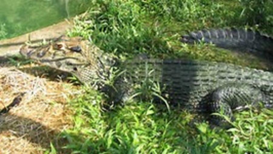 INPA- Giant alligator