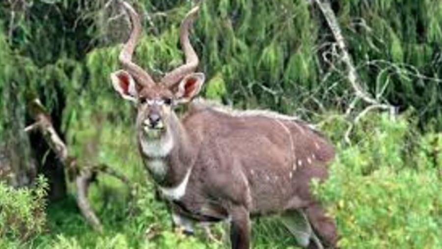 nyala endemic to Ethiopia
