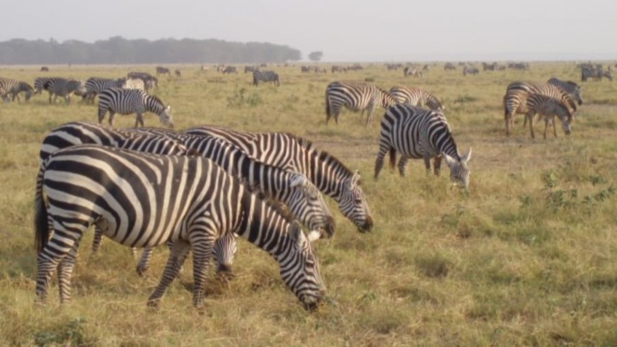 So much Zebras in one place