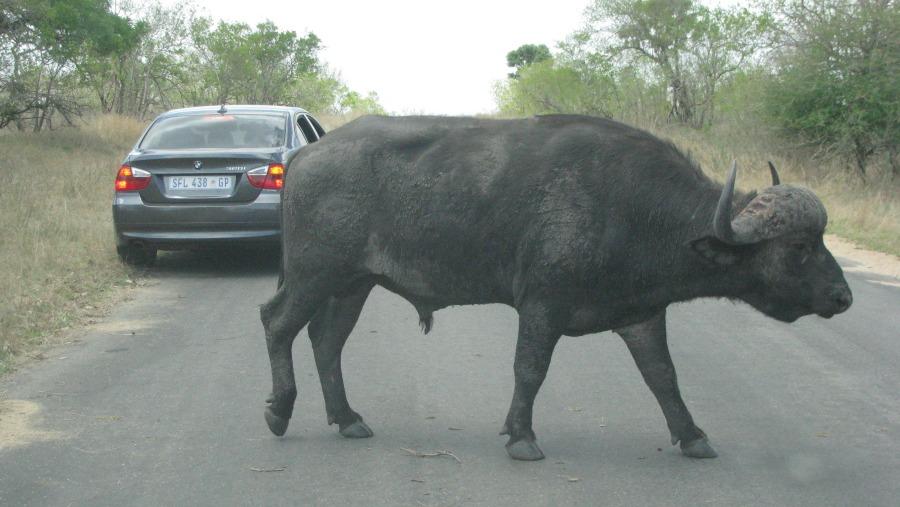 Buffalo in Kruger Park