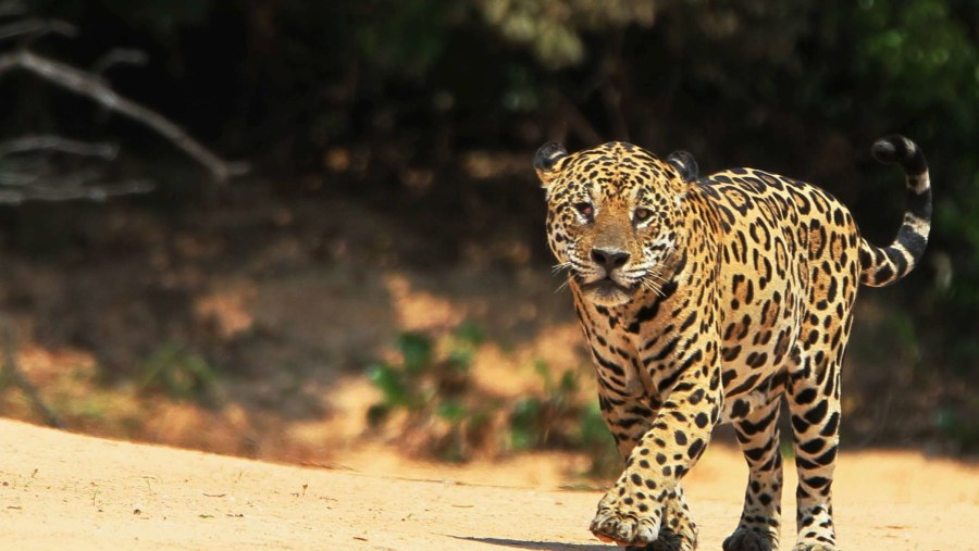 One of the stars of Pantanal walking on the beach!!!!