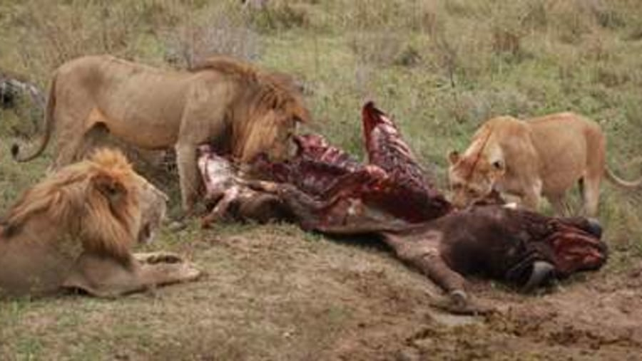 LION FEASTING