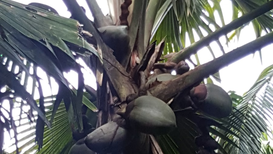 The biggest seeds in the world and the pride of Seychelles the famous coco de mer
