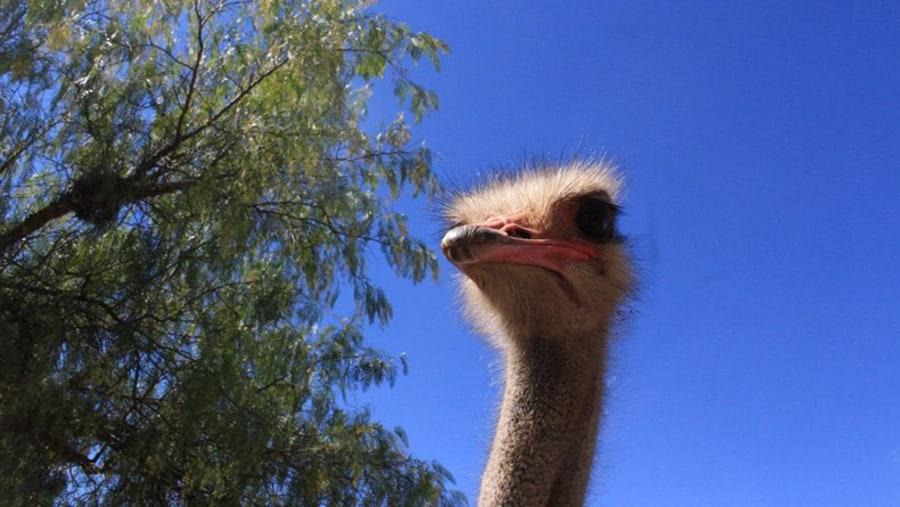 Ostrich, Oudtshoorn, Karoo