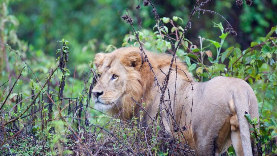 Abyssinian Black Manned Lion Young (Panthera Leo)