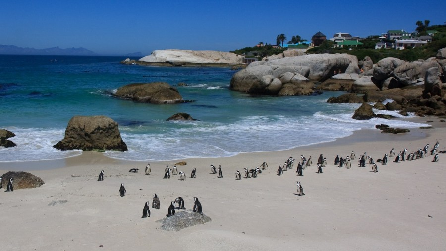 Simons Town (Penguins at Boulders Beach)