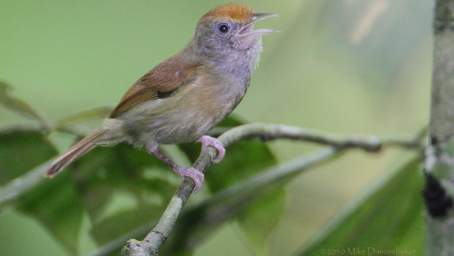 Tawny crowned greenlet
