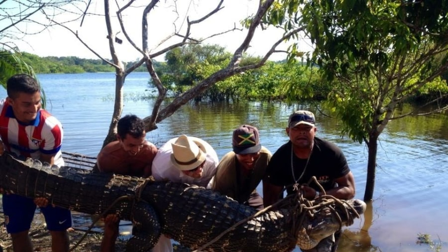 The black caiman its 4 meter