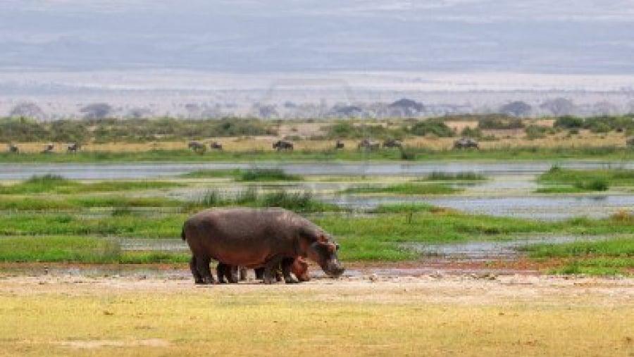 Meet the Hippos