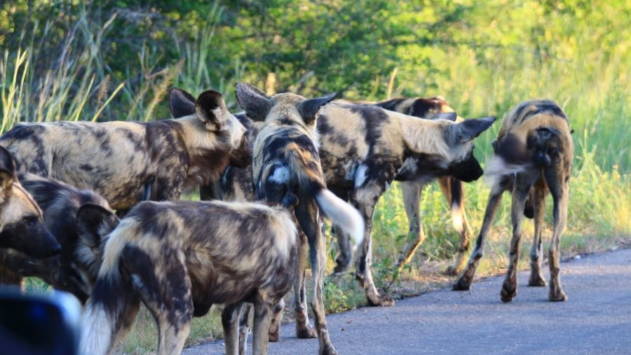 Wilddogs or Painted dogs