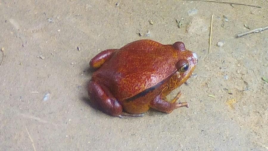 Tomato Frog at Mandraka Park.