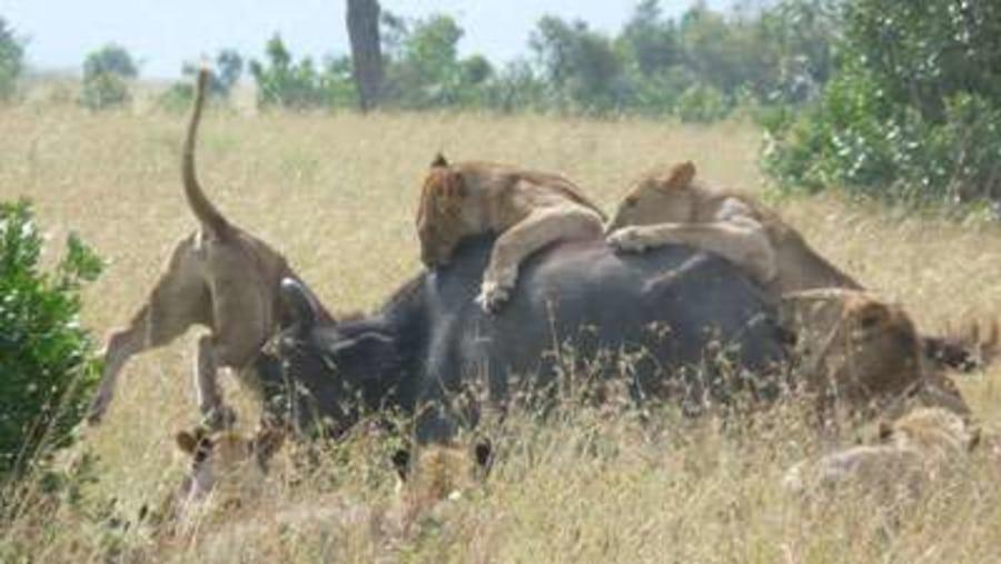 Lions on Bufallos