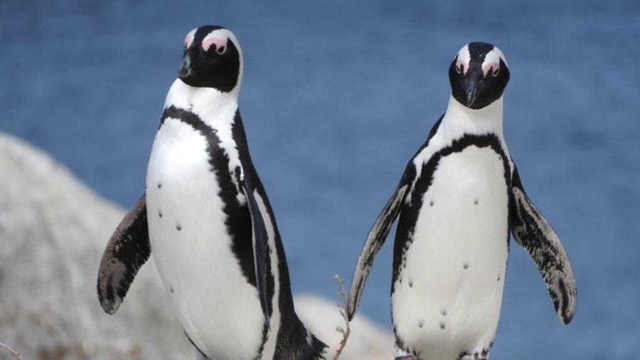 Penguin colony, Boulders Beach