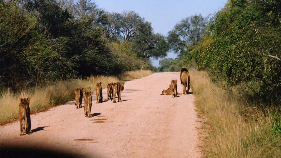 Lions walk on the road
