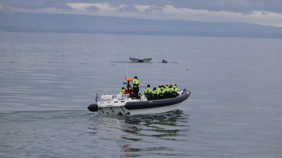Humpback Whale RIB Express