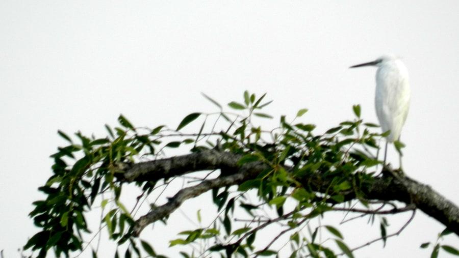 Sada Bok/Little Egret