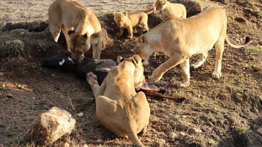 A Pride of Lions feeding