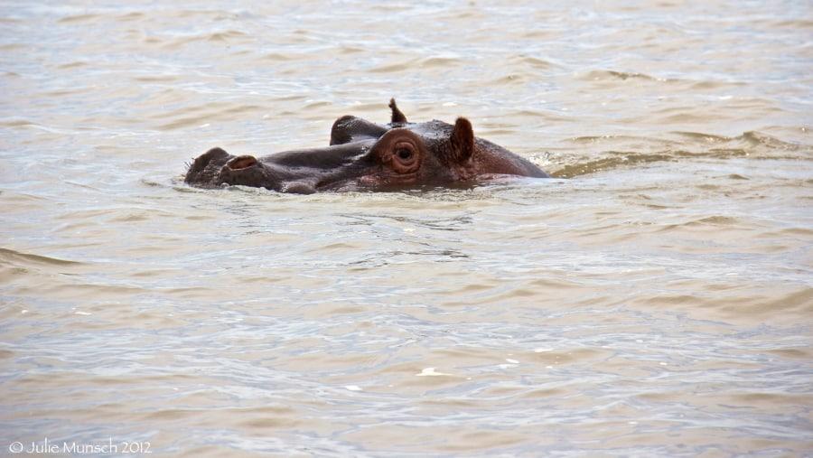Lake Tana Hippo