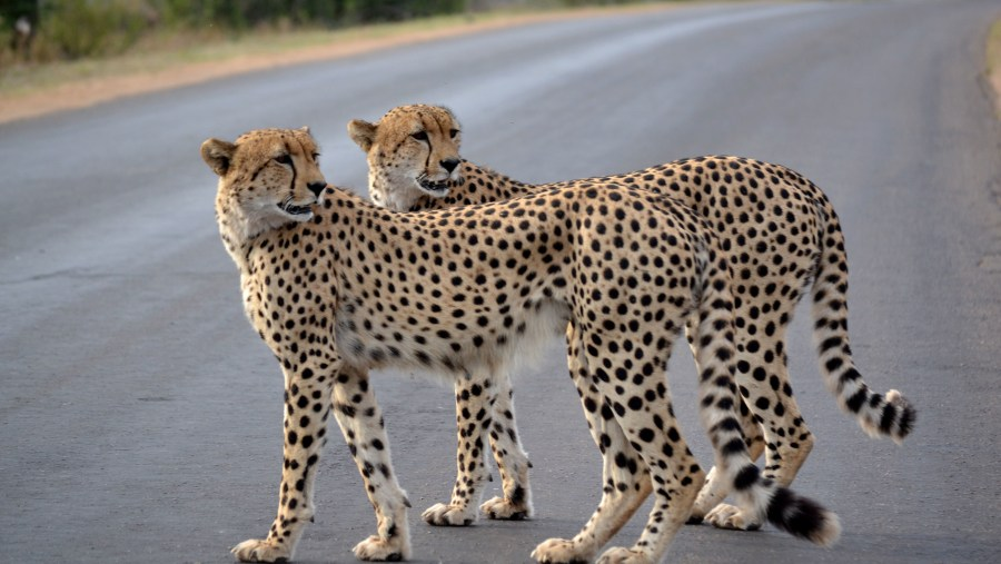 Cheetah cross road - by Guide Wade