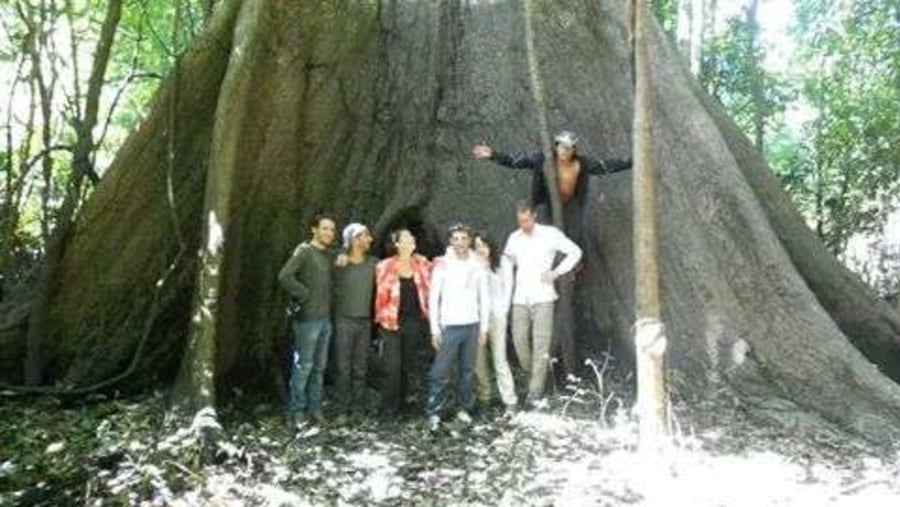 The largest saiba tree of this area so amazing...