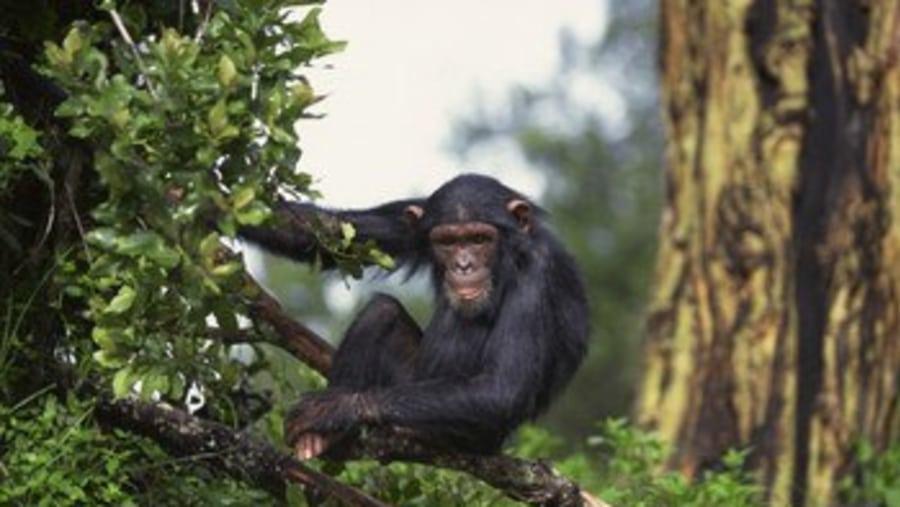 Meet mr Chimpanzee