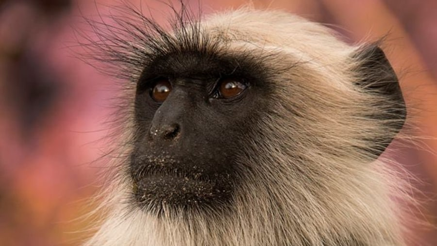 Langoor Black face long tail monkey