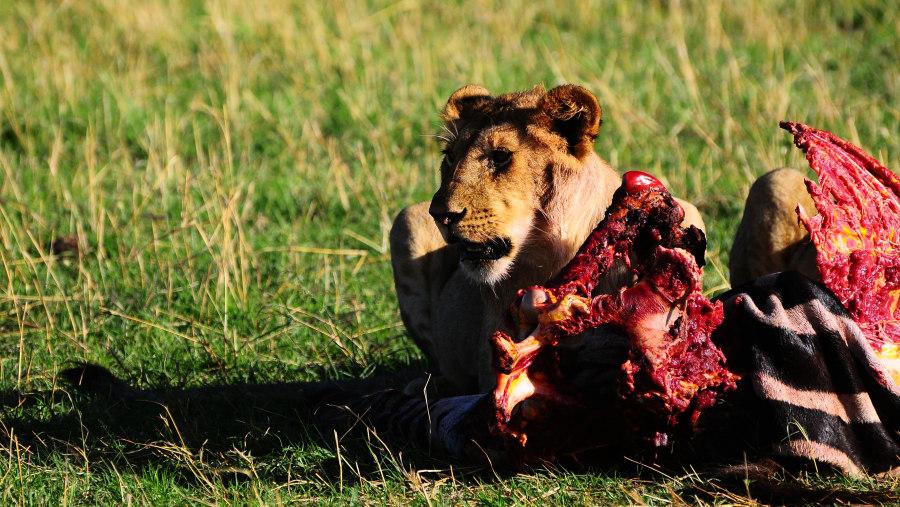 LION FEEDING ON THE PREY