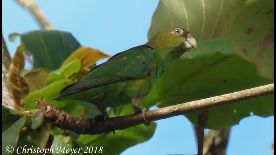 Sapphire-rumpet parrotlet (Touit purpuratus)