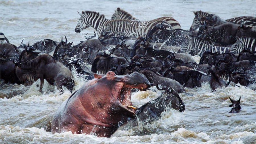 The Great wildebeests Migration
