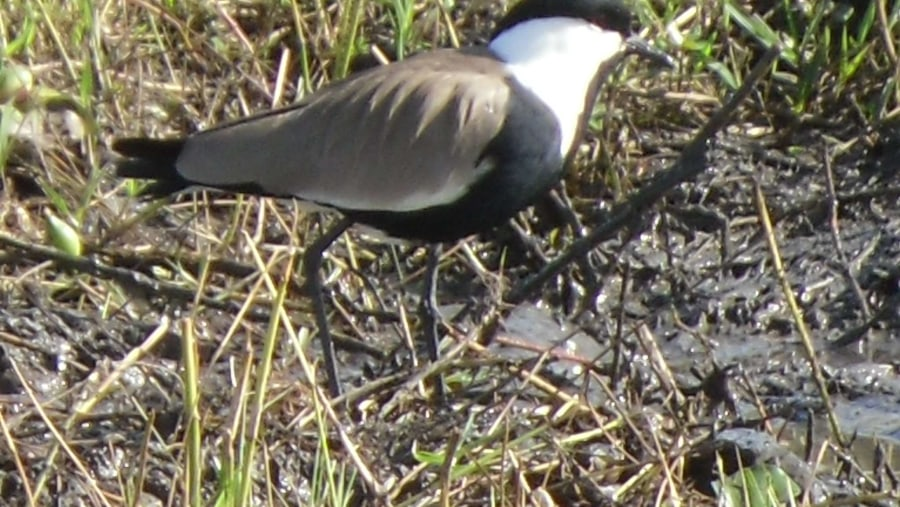 Spur-winged Lapwing came to Malawi in 1993.