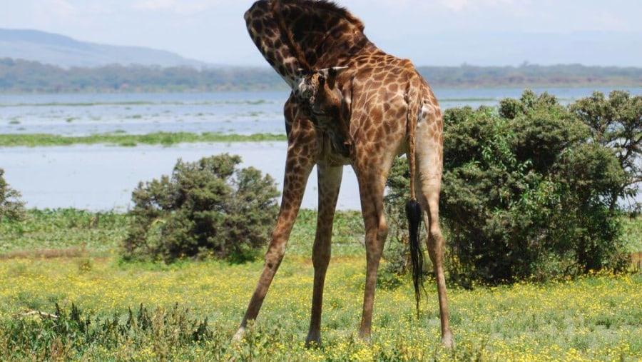 Giraffe on Crescent Island, Lake Naivasha