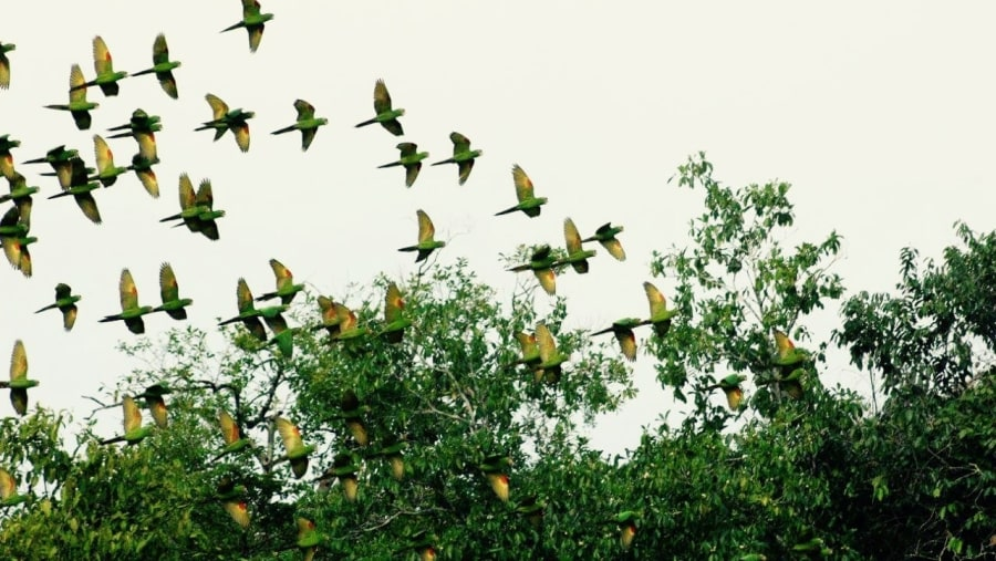 Flying Green Parakeets