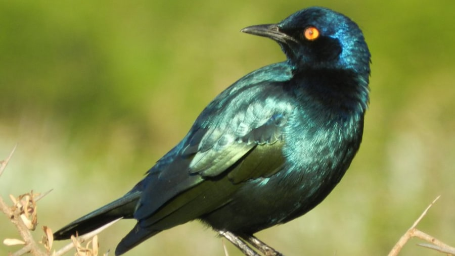 Cape Glossy Starling, Addo Park with Alan Tours