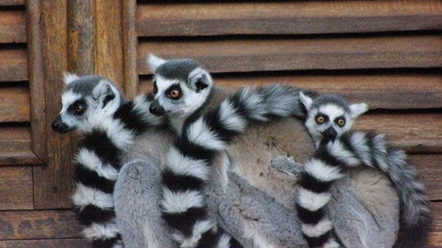 Ring-tailed lemur of Berenty reserve