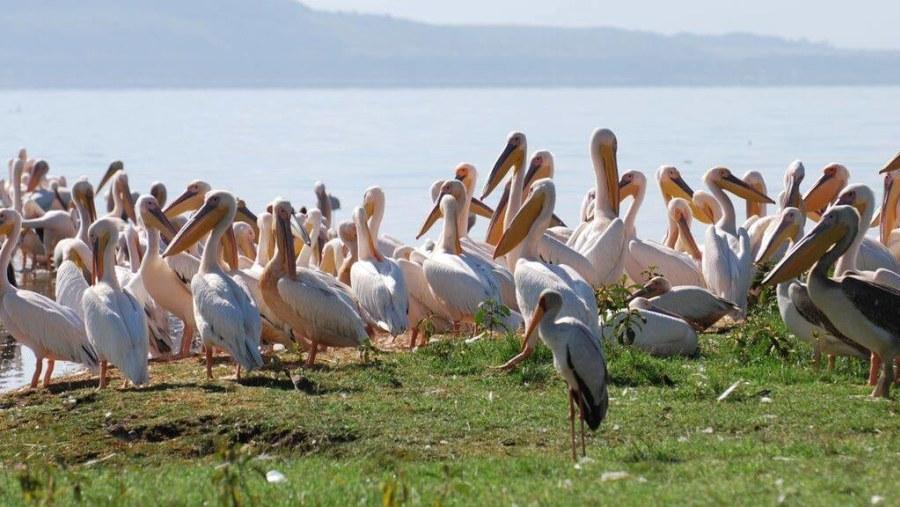 White Pelicans, Lake Nakuru National Park