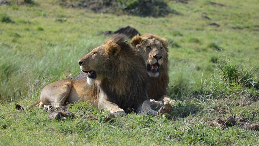 Masai mara Kings