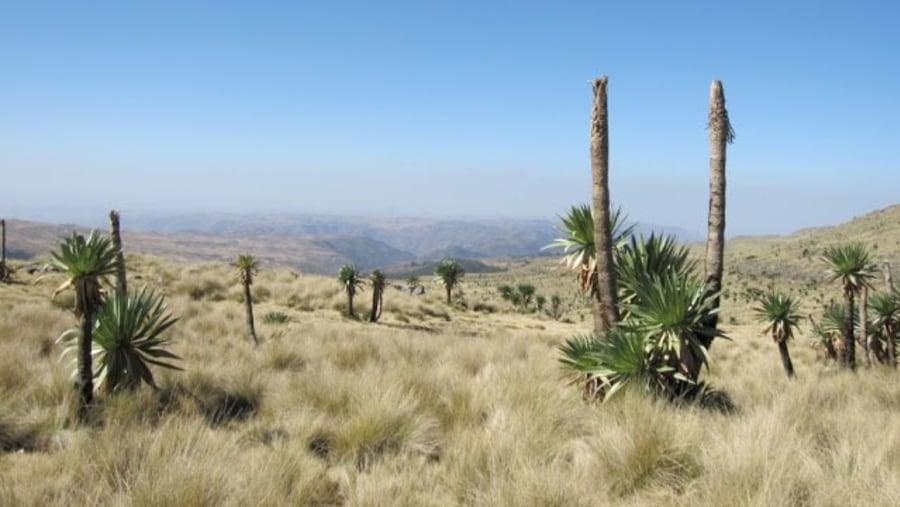 lobeila plant