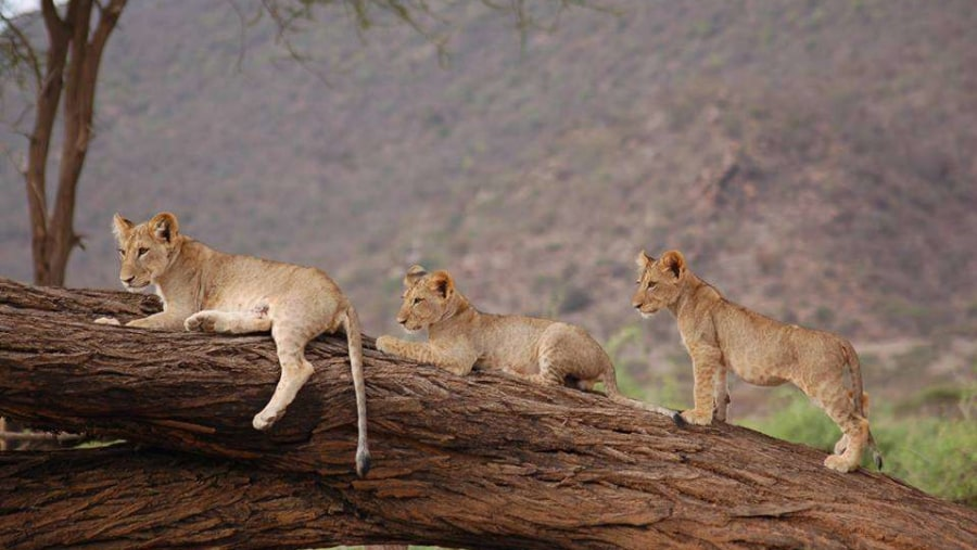 Lion Cubs on a tree