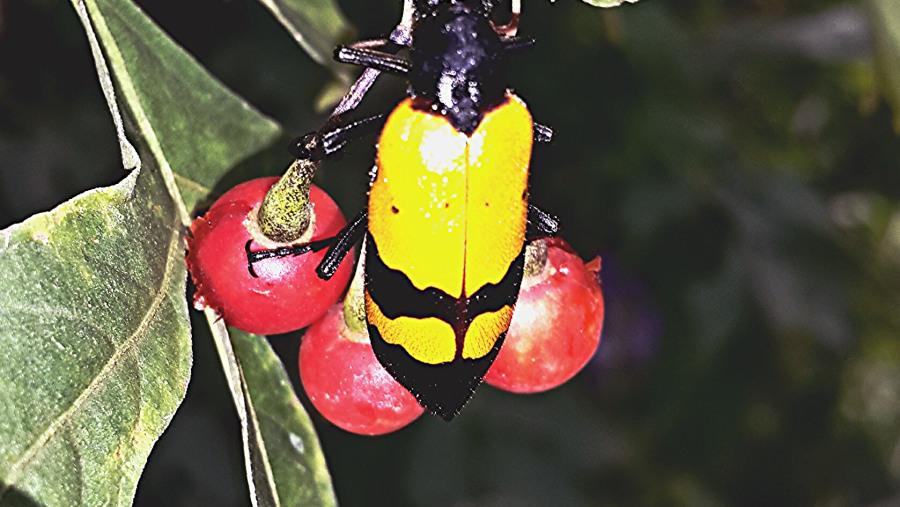 beetle drinking sap