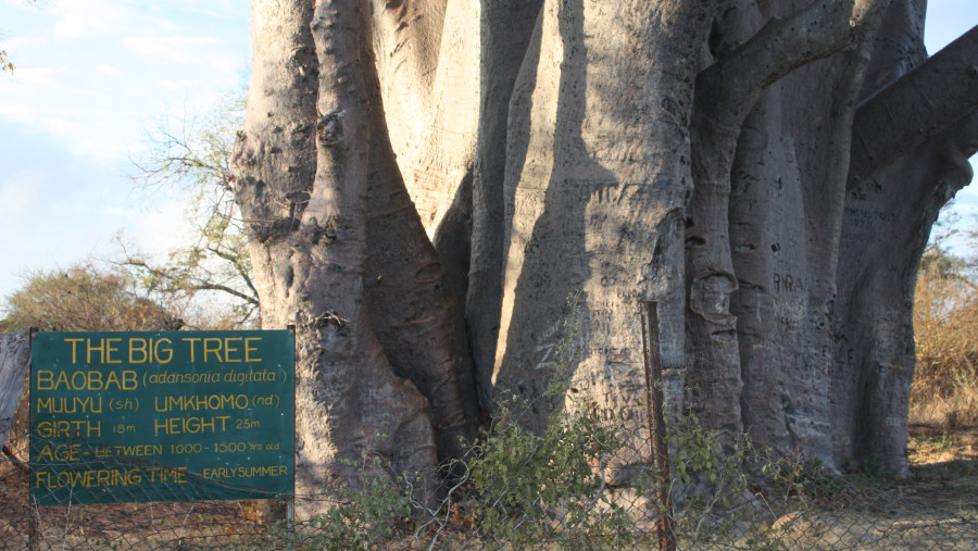 The Big Baobab Tree