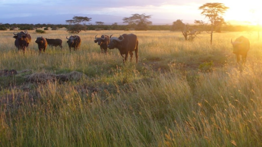 Buffaloes during morning game drive