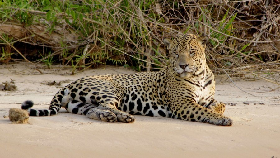 One of the heviest male Jaguars from Pantanal!!!