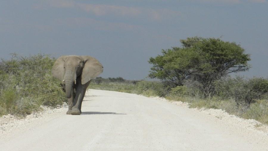 Lazy Walk, Etosha National Park