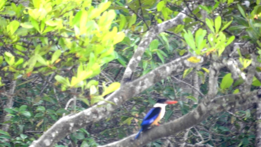 Black-Capped Kingfisher inside the forest