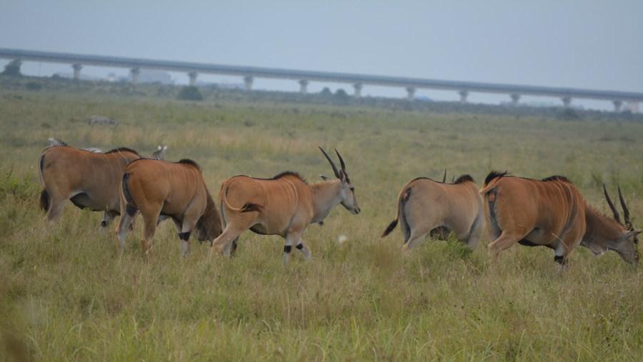 Gazelles in their natural habitant