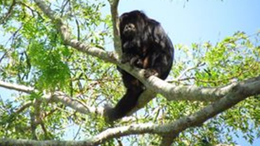 Black Howler Monkey, male